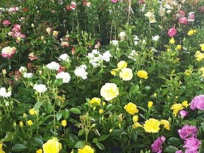 róże i inne kwiaty1