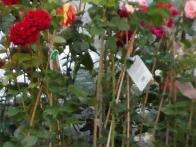róże i inne kwiaty10
