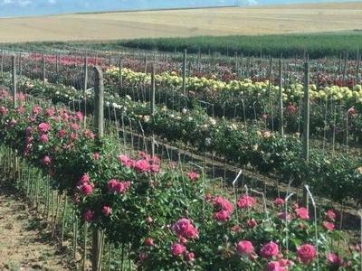 róże i inne kwiaty2