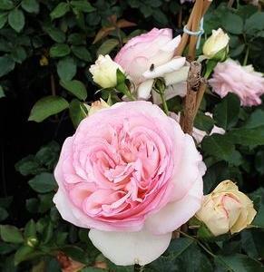 róże i inne kwiaty3