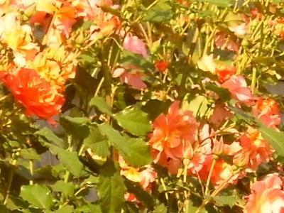 róże i inne kwiaty5