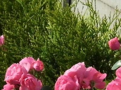 róże i inne kwiaty6