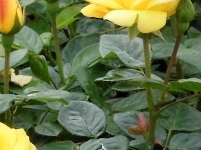 róże i inne kwiaty7