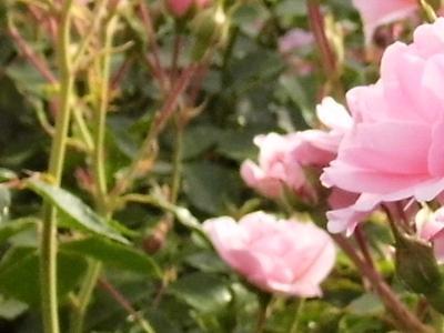 róże i inne kwiaty8