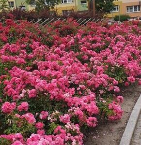 róże okrywowe0