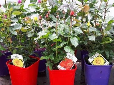 róże okrywowe1