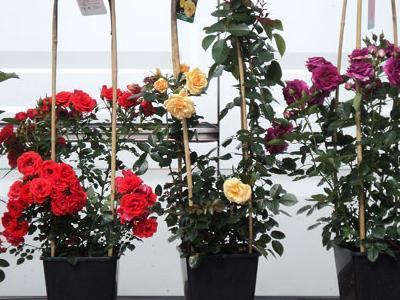 róże okrywowe10