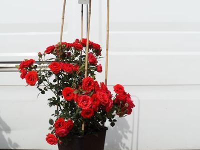 róże okrywowe11