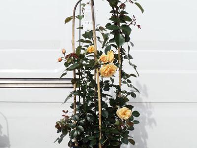 róże okrywowe12