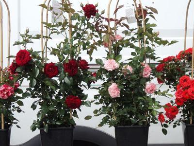 róże okrywowe13