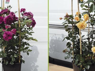 róże okrywowe14