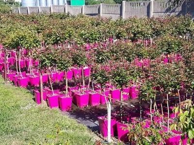 róże okrywowe4