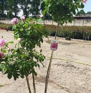 róże okrywowe8