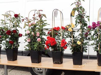 róże okrywowe9